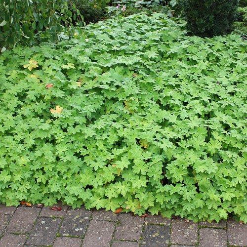 Bodendeckerpflanzen-eins