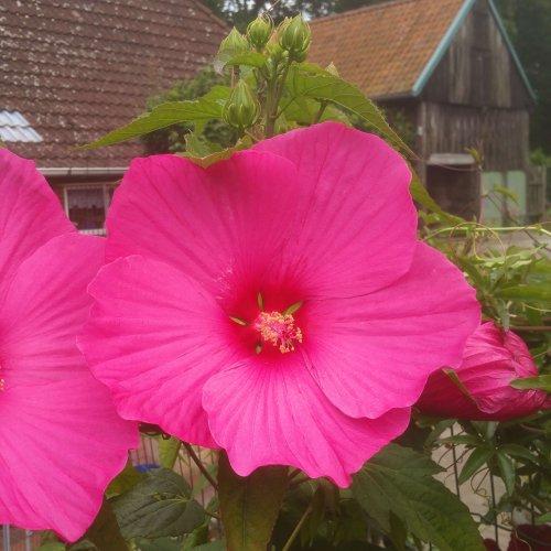 Hibiscus moscheutus von Alex - Pink Power -Pink Passion